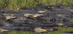 gators gather at a florida sinkhole
